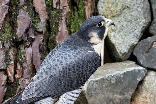 Photograph - Peregrine Falcon by Jill Lang