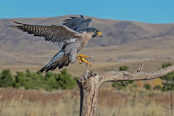 Wall Art - Photograph - Peregrine Falcon Landing by Dawn Key