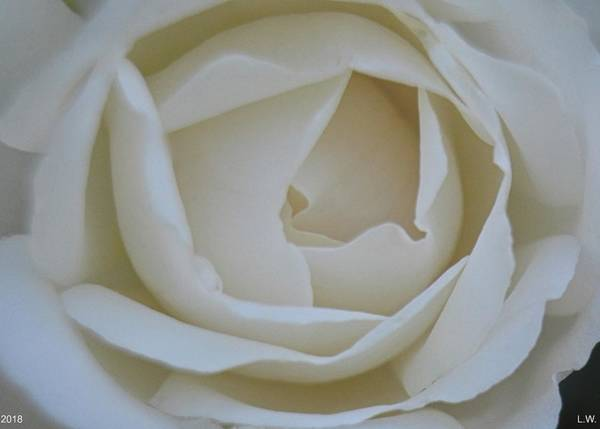 Photograph - White Rose by Lisa Wooten