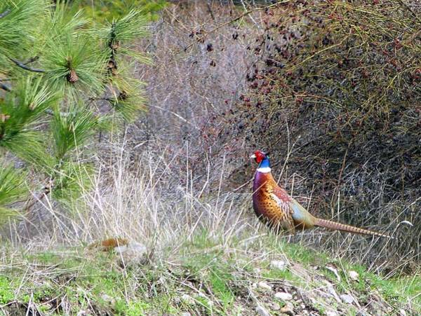 Wall Art - Photograph - Pheasant Country by Will Borden