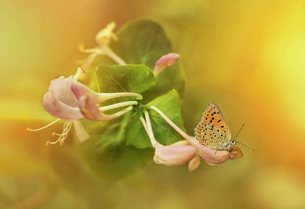 Photograph - Phengaris Teleius Butterfly On Honeysuckle Flowers by Jaroslaw Blaminsky