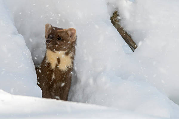 Photograph - Pine Marten In The Snow by Arterra Picture Library