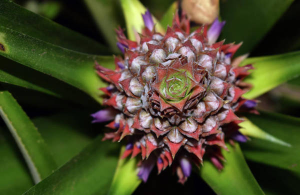 Photograph - Pineapple by Larah McElroy