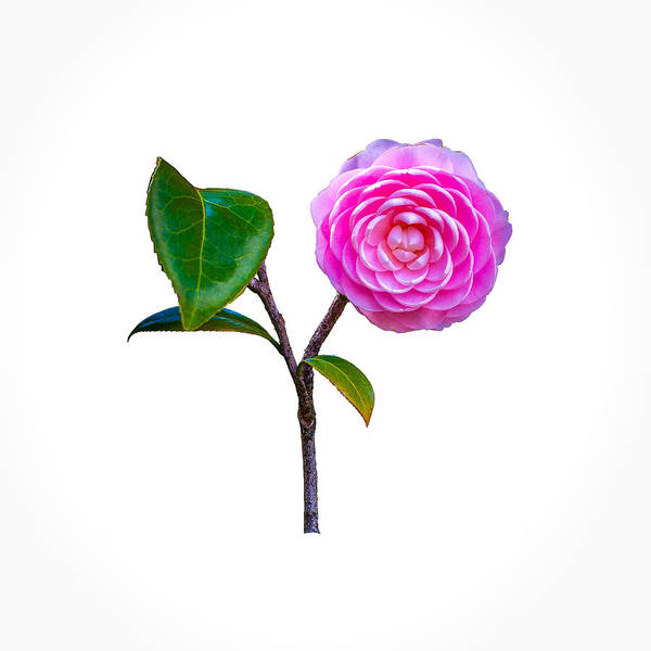Photograph - Pink Camellia On White by John M Bailey