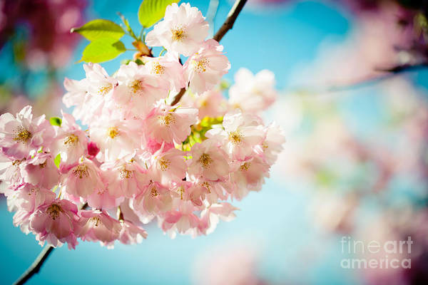 Photograph - Pink Cherry Blossoms Sakura Against Clear Blue Sky  by Raimond Klavins