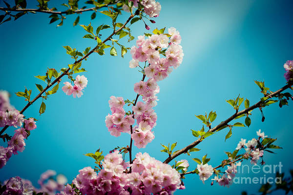 Photograph - Pink Cherry Blossoms Sakura Clear Blue Sky by Raimond Klavins