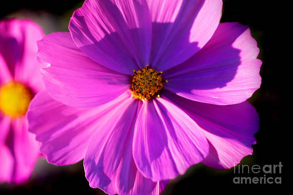 Photograph - Pink Cosmos Flower by Karen Adams