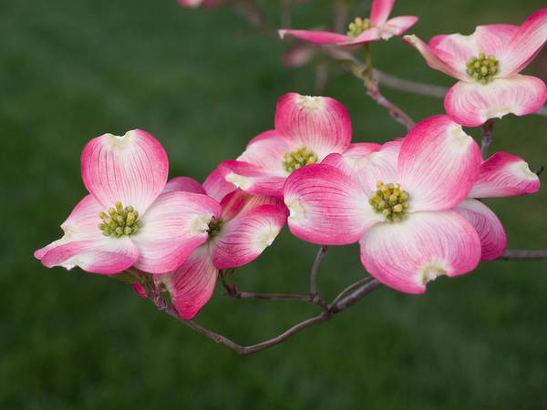 Wall Art - Photograph - Pink Dogwood Blooms by Lori Coleman