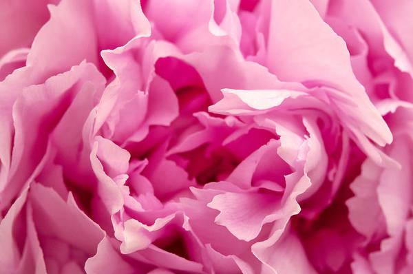 Photograph - Pink Peony  by Fabrizio Troiani