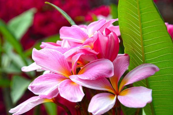 Photograph - Pink Plumeria by Lynn Bauer