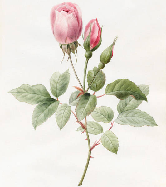 Pink Drawing - Pink Rose And Buds by Louise D'Orleans