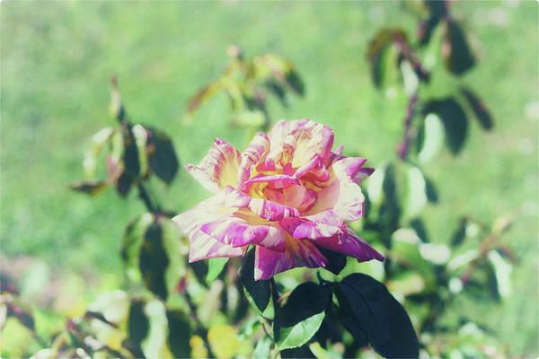 Wedding Bouquet Photograph - Pink Rose by Martin Newman