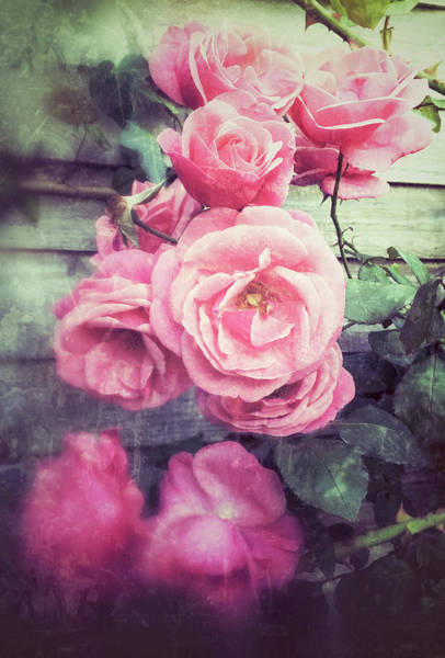 Wall Art - Photograph - Pink Summer Roses by Tom Gowanlock