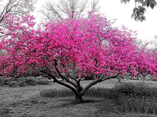 Photograph - Pink Tree by Chris Montcalmo