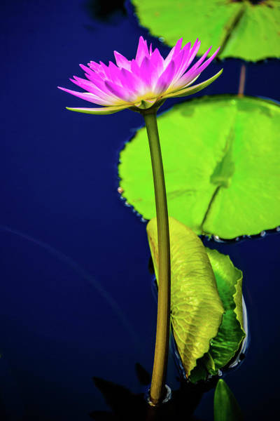 Photograph - Pink Water Lily by Louis Dallara