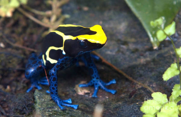 Painting - Poison Dart Frog by Sue Harper