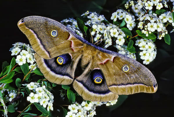 Photograph - Polyphemus Moth by Gary Shepard