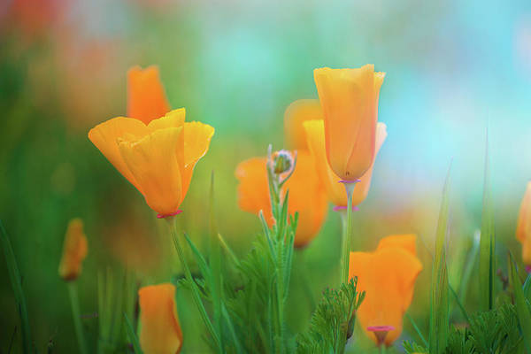 Photograph - Poppy Dreams by Lynn Bauer