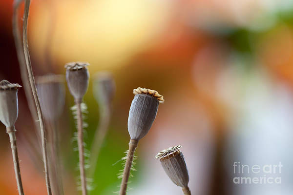 Pod Wall Art - Photograph - Poppy Pods by Nailia Schwarz