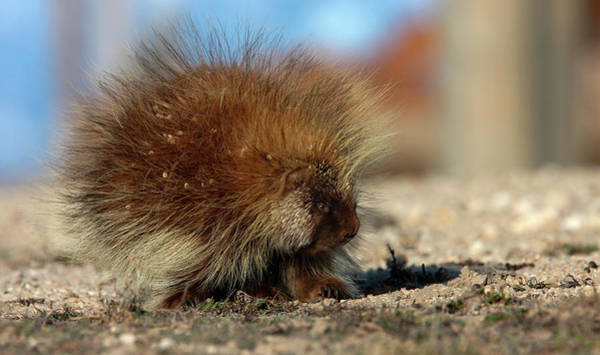 Photograph - Porcupine by Ronnie and Frances Howard