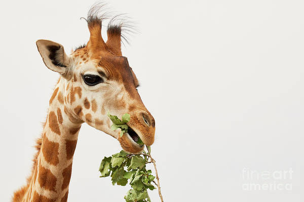 Portrait Of A Rothschild Giraffe  Art Print