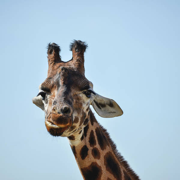Colorful Giraffe Photograph - Portrait Of African Giraffe Giraffa Against Blue Sky Background by Matthew Gibson