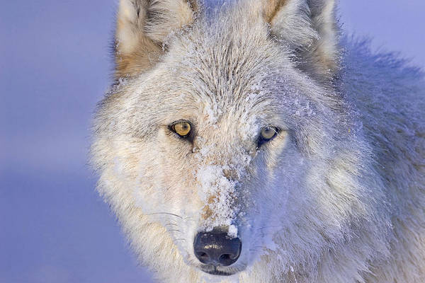Photograph - Portrait Of The White Wolf 540f by Mark Miller