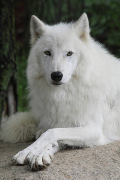 Arctic Wolves Photograph - Posing For The Camera by Gerry Sibell
