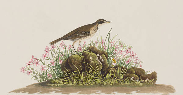 Prairie Grass Painting - Prairie Titlark by John James Audubon