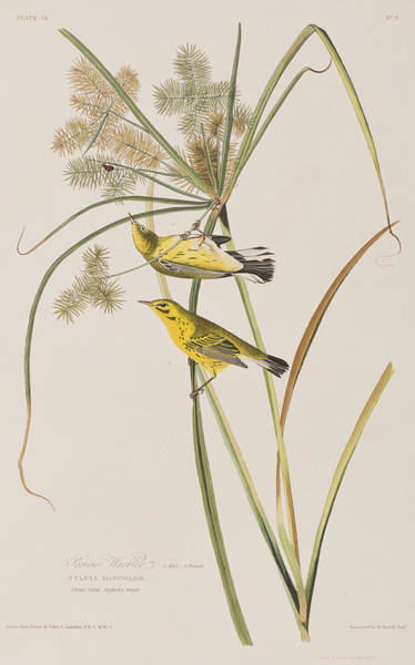 Prairie Grass Painting - Prairie Warbler by John James Audubon