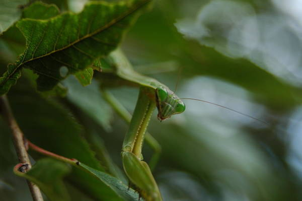 Photograph - Praying Mantis by Raymond Salani III