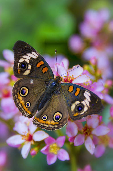 Buckeye Butterfly Wall Art - Photograph - Happy Little Butterfly  by Saija  Lehtonen