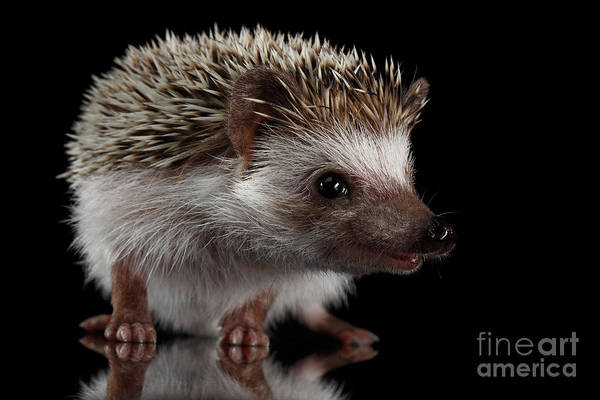 Hibernation Wall Art - Photograph - Prickly Hedgehog Isolated On Black Background by Sergey Taran