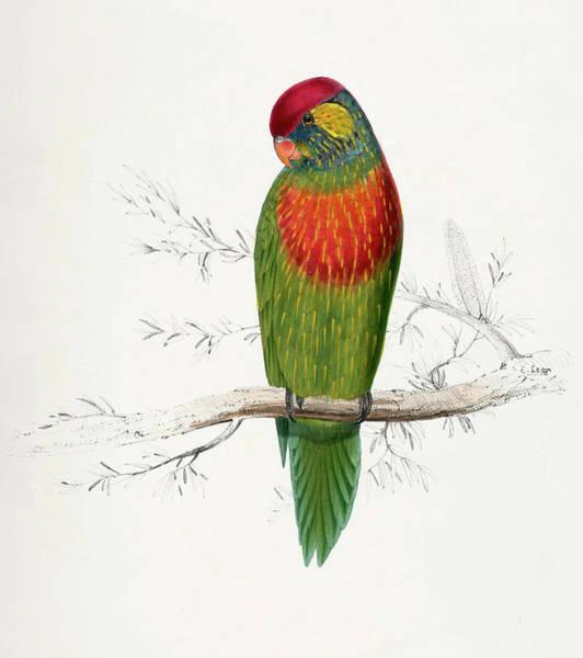 Blue Parrot Drawing -  Psitteuteles Versicolor by Edward Lear