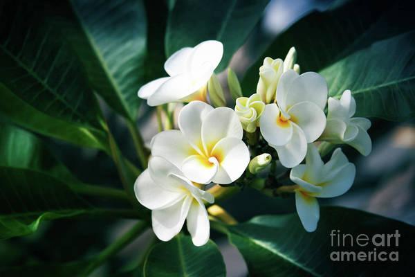 Photograph - Pua Melia Na Puakea Onaona Tropical Plumeria Maui Hawaii by Sharon Mau