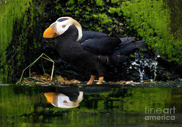 Oregon Wildlife Wall Art - Photograph - Puffin Reflected by Mike Dawson