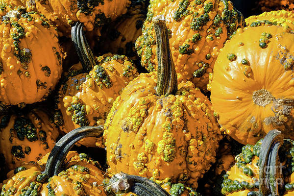 Photograph - Pumpkins With Warts by Iryna Liveoak