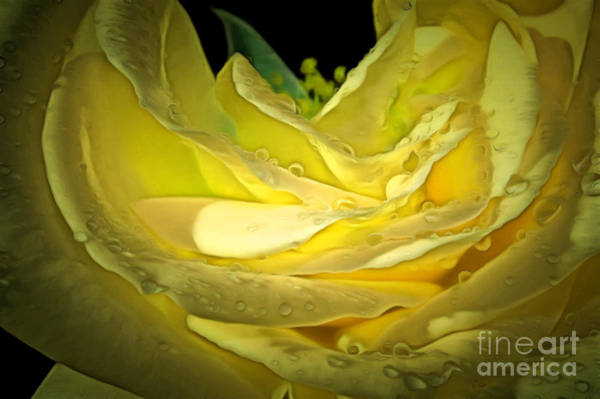 Rose Bud Photograph - Pure Joy by Krissy Katsimbras