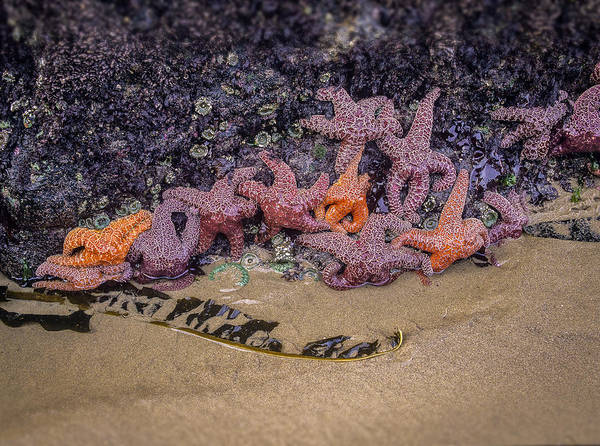 Photograph - Purple And Ochre Sea Stars by Robert Potts