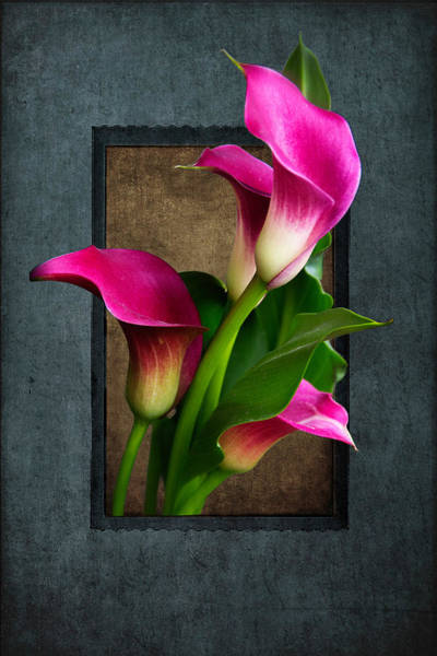 Photograph - Purple Calla Lily by Janice Bennett