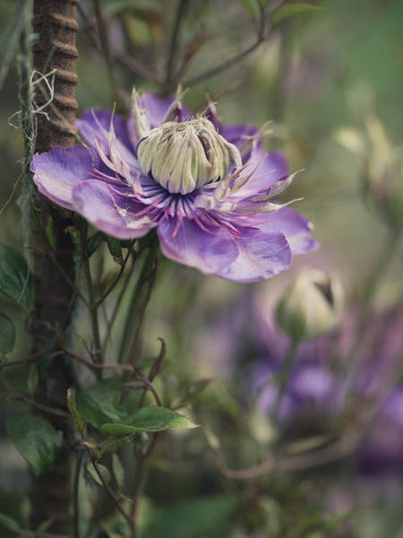 Clematis Wall Art - Photograph - Purple Clematis 2 by Rebecca Cozart