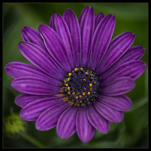 African Daisies Photograph - Purple Daisy by Robert Fawcett
