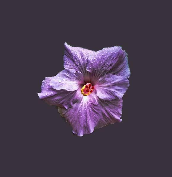 Photograph - Purple Hibiscus by Pamela Walton