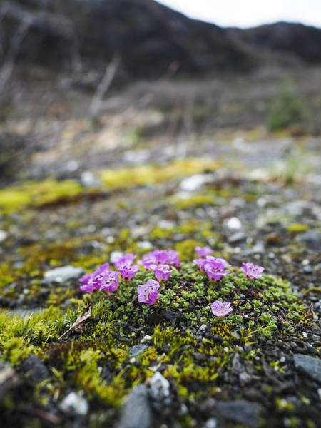 Photograph - Purple Mountain Saxifrage by Ian Johnson