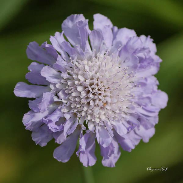 Wall Art - Photograph - Purple Pincushion Flower by Suzanne Gaff