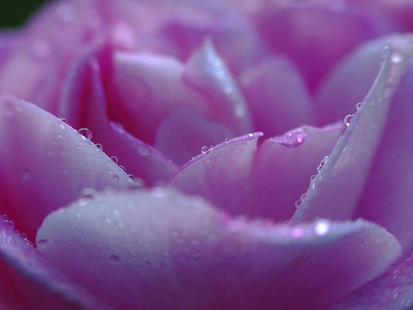 Photograph - Purple Rose Photography by Juergen Roth