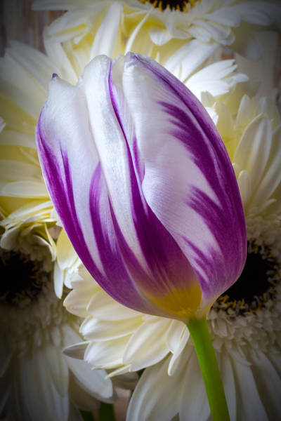 Single Leaf Wall Art - Photograph - Purple White Tulip by Garry Gay