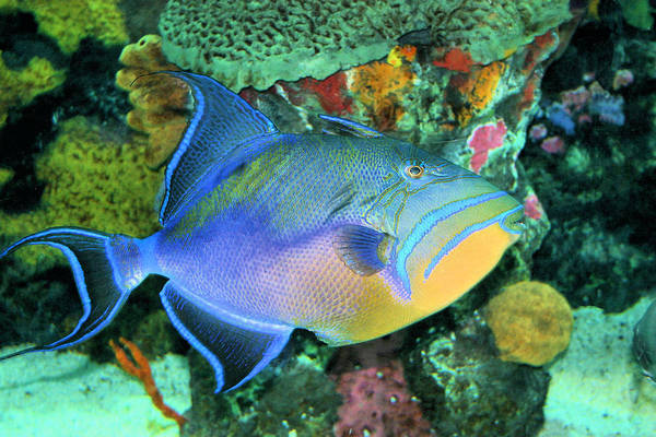 Photograph - Queen Triggerfish by Kristin Elmquist