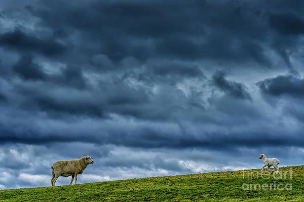 Photograph - Rain Storm Ewe And Lamb by Thomas R Fletcher