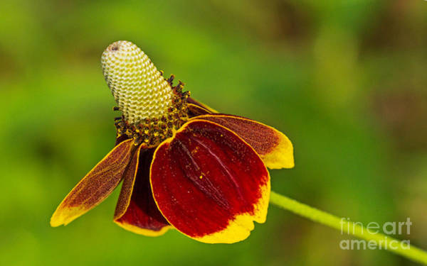 Photograph - Ratibida Columnifera by Bernd Laeschke